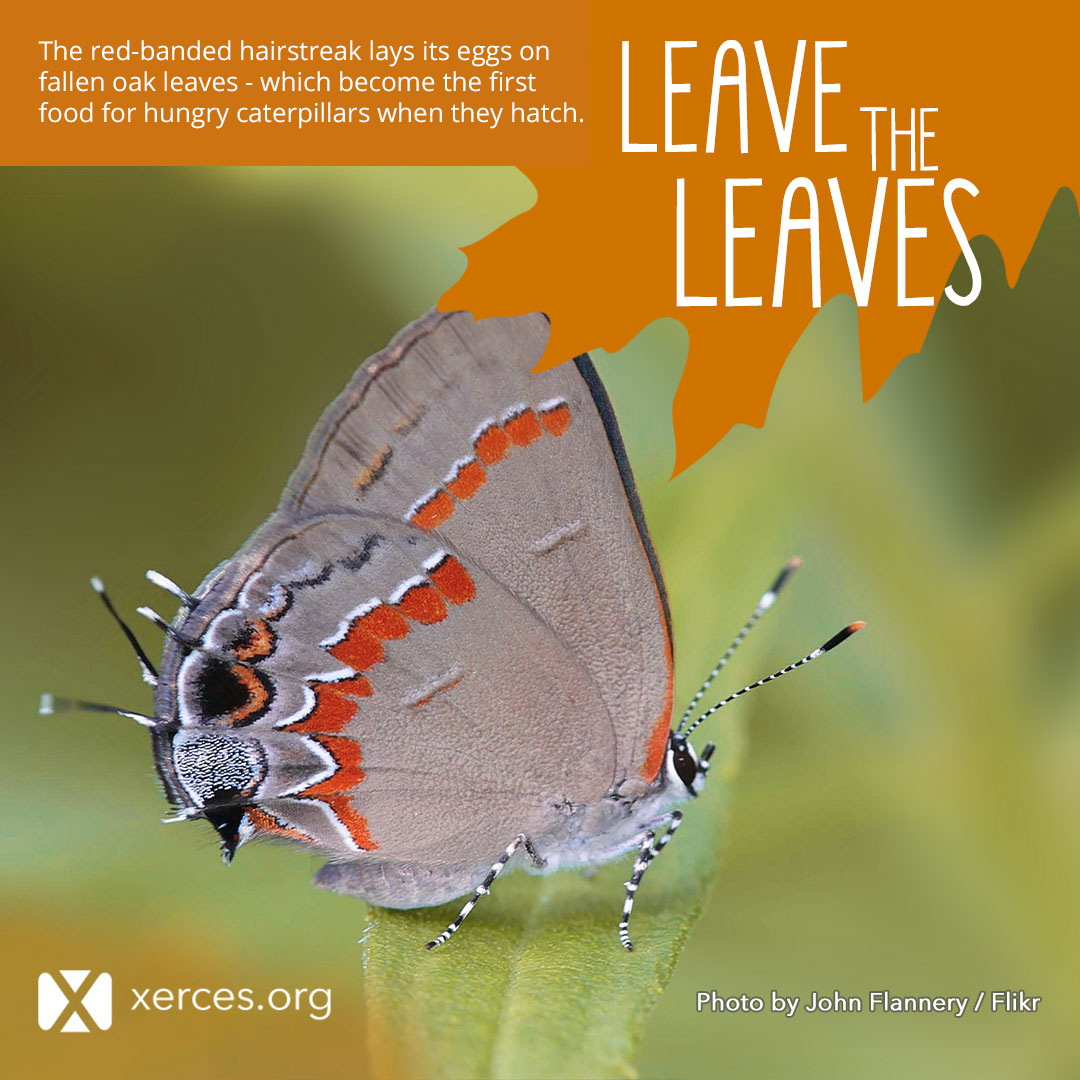 hairstreak Leave the Leaves